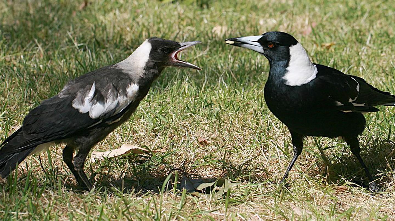 Australian Magpie | © Toby Hudson/WikiCommons
