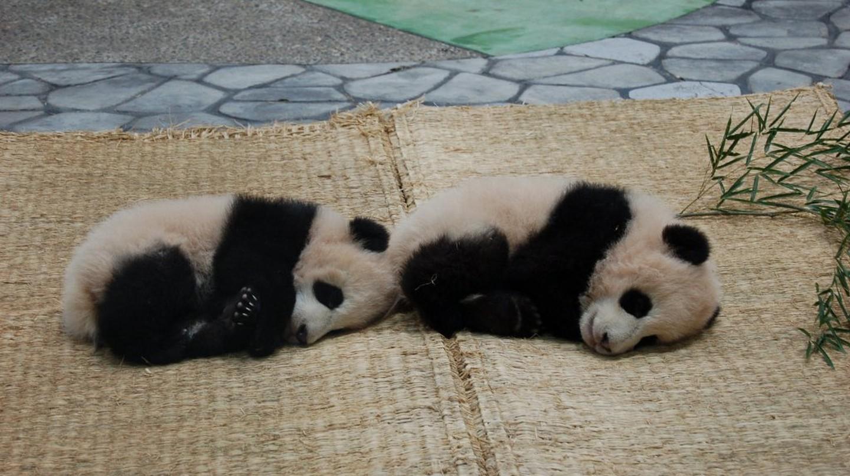 Baby pandas | © kuromeri/WikiCommons