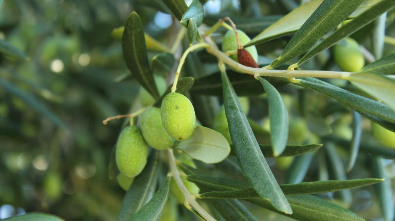 Olives | © Annabel Farley/Flickr
