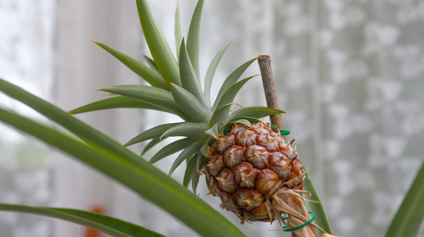 Supermarket Pineapple Planted 8 Years Ago Sprouts Into A Tree