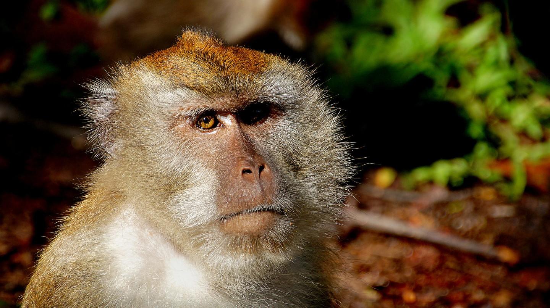 Macaque Monkey   © Bernard Spragg. NZ/Flickr