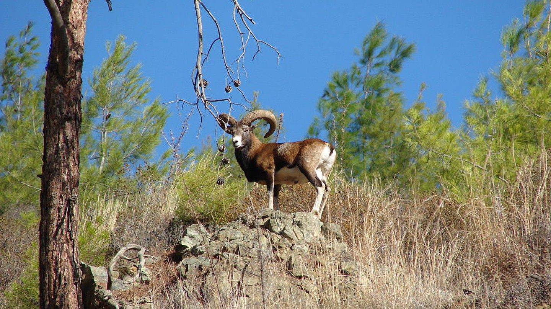 Photo of a male wild Cyprus mouflon | © Smichael21/WikiCommons