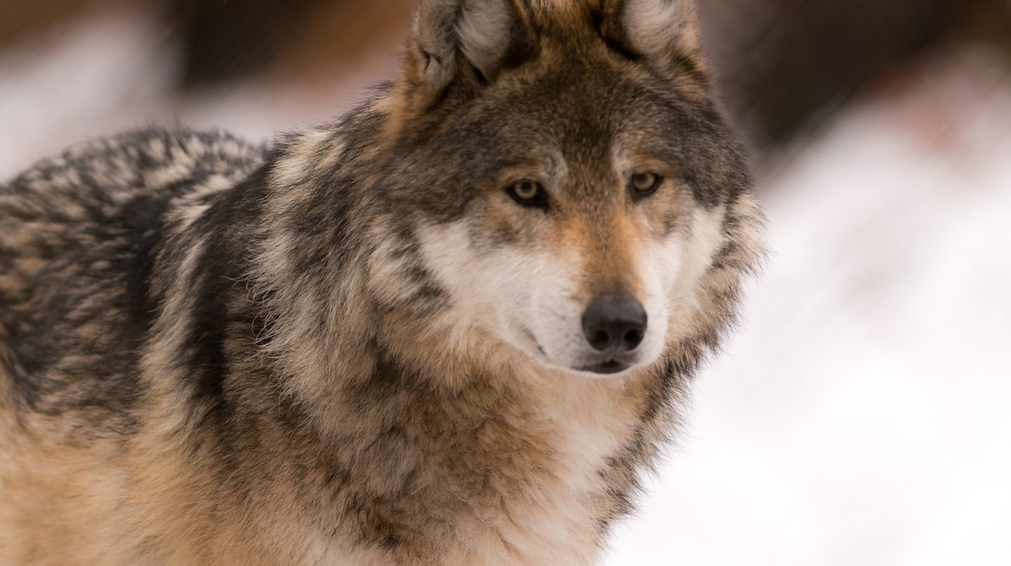 Gray wolf | © Eric Kilby/Flickr