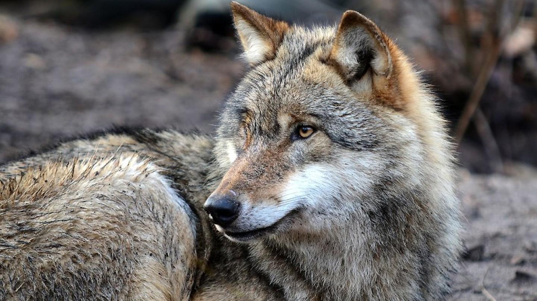 Grey Wolf | © Arne von Brill/Flickr