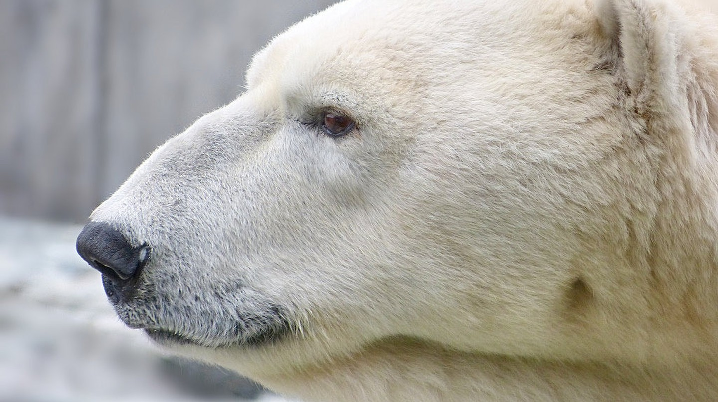 A polar bear (not Pizza) | © Arctic Wolf/Flickr