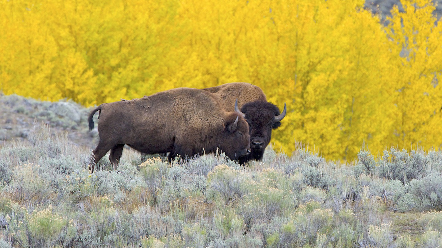 American Bison in Yellowstone, Montana, USA | © Arturo de Frias Marques/WikiCommons