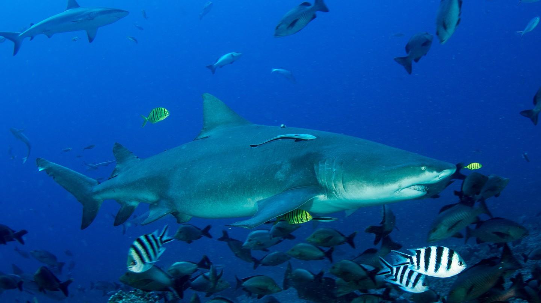 Beqa Shark Dive   © Nick Hobgood/Flickr