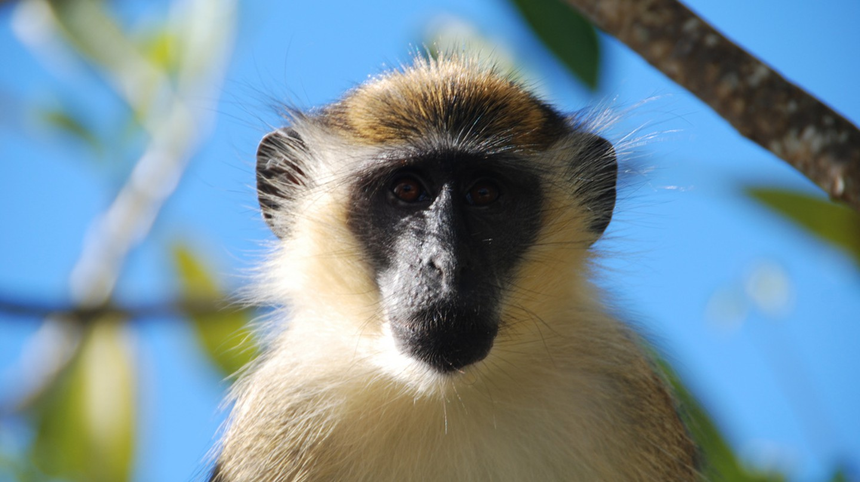 Barbados Green Faced Monkey  © Joe Ross/Flickr