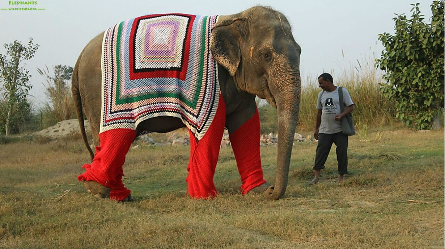 Bijli elephant enjoying an evening walk in her warm jumper © Wildlife SOS