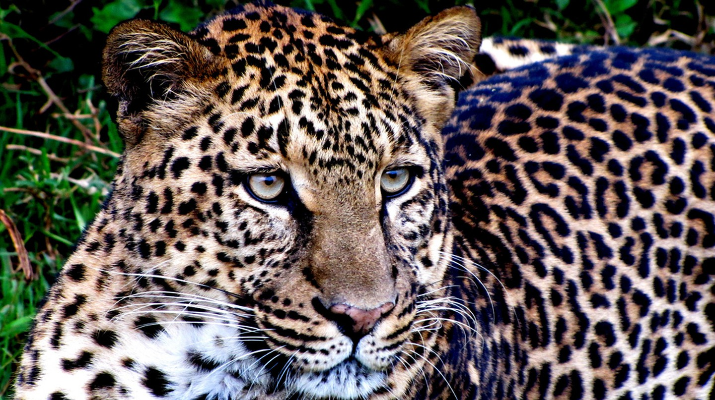 Leopard up close at Aberdare National Park | © Balathasan Sayanthan/ Flickr
