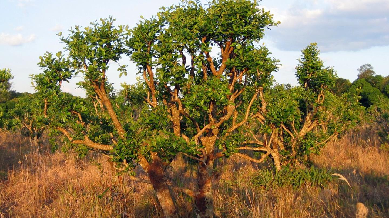 Yerba mate growing in the wild   Wikimedia