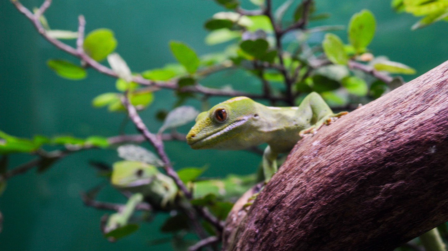New Zealand Gecko | © Francisco Anzola/Flickr