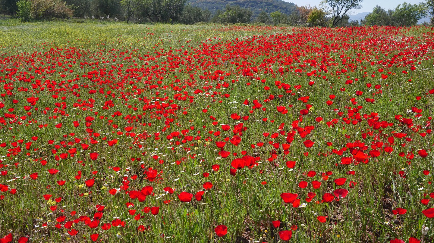 Poppy field, Lesvos | © Frank Vassen/Flickr