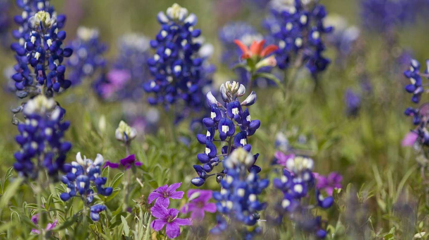 Texas Bluebonnets © Derek Bridges