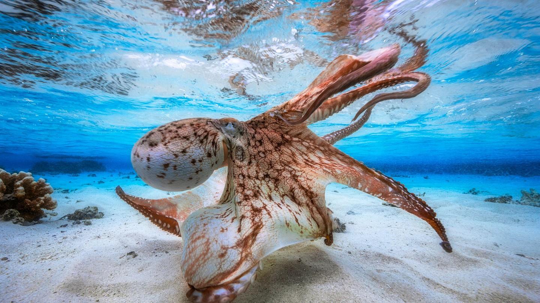 Dancing Octopus |© Gabriel Barathieu / UPY 2017