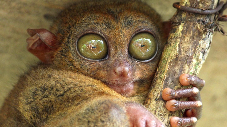 Tarsier | © Bambara/Shutterstock