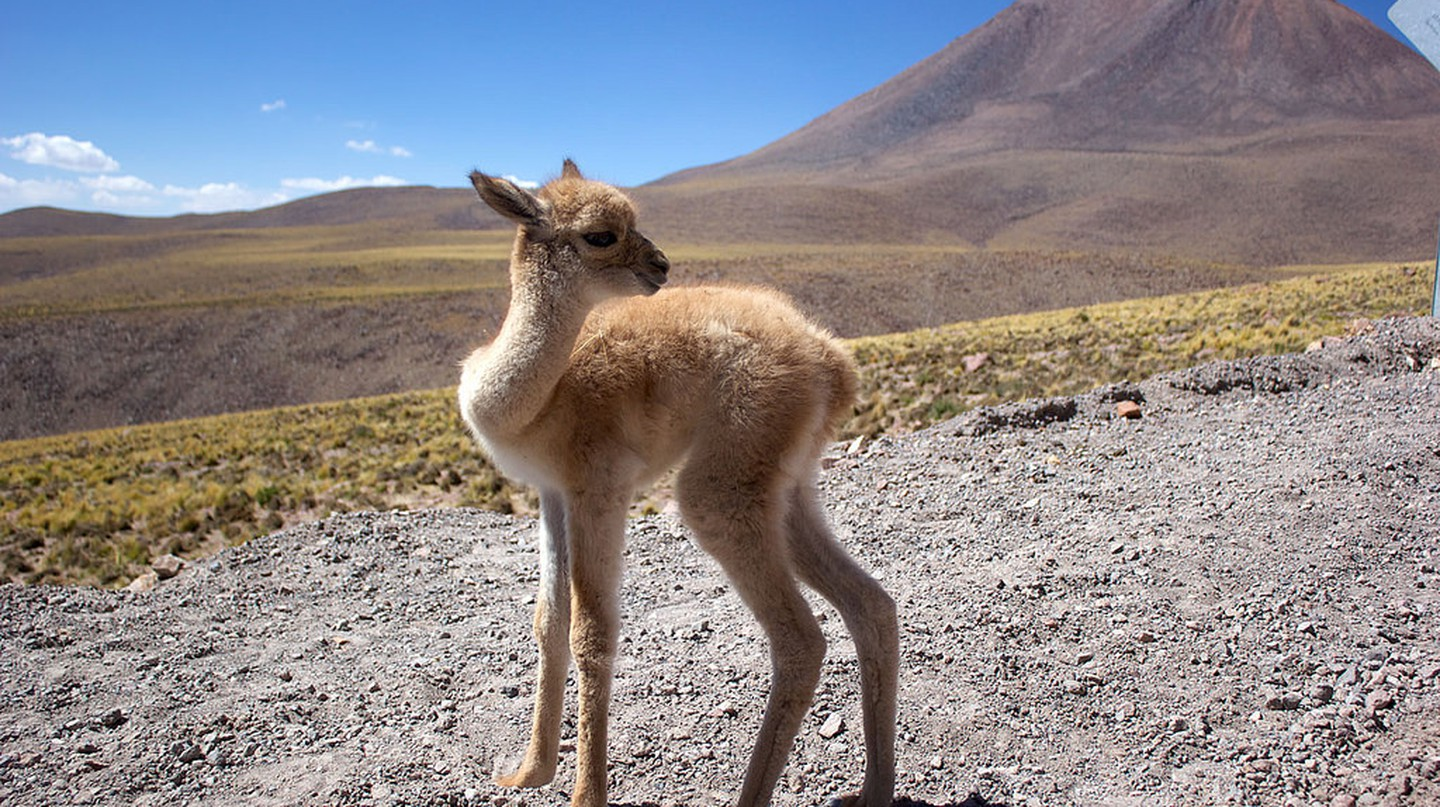 ALMA Workers Rescue Abandoned Vicuña Fawn © European Southern Observatory