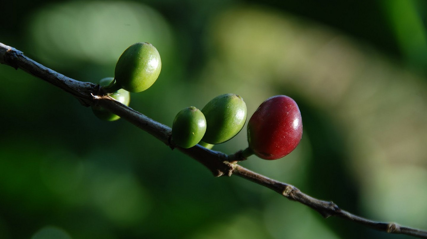 Coffee seeds or pods | © Shashank Gupta / Flickr