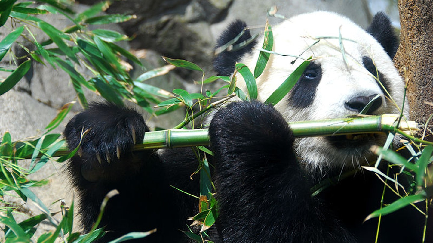 Giant Panda Tai Shan | Wikimedia Commons