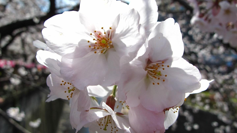 Sakura along the Meguro River | © photomax/Pixabay
