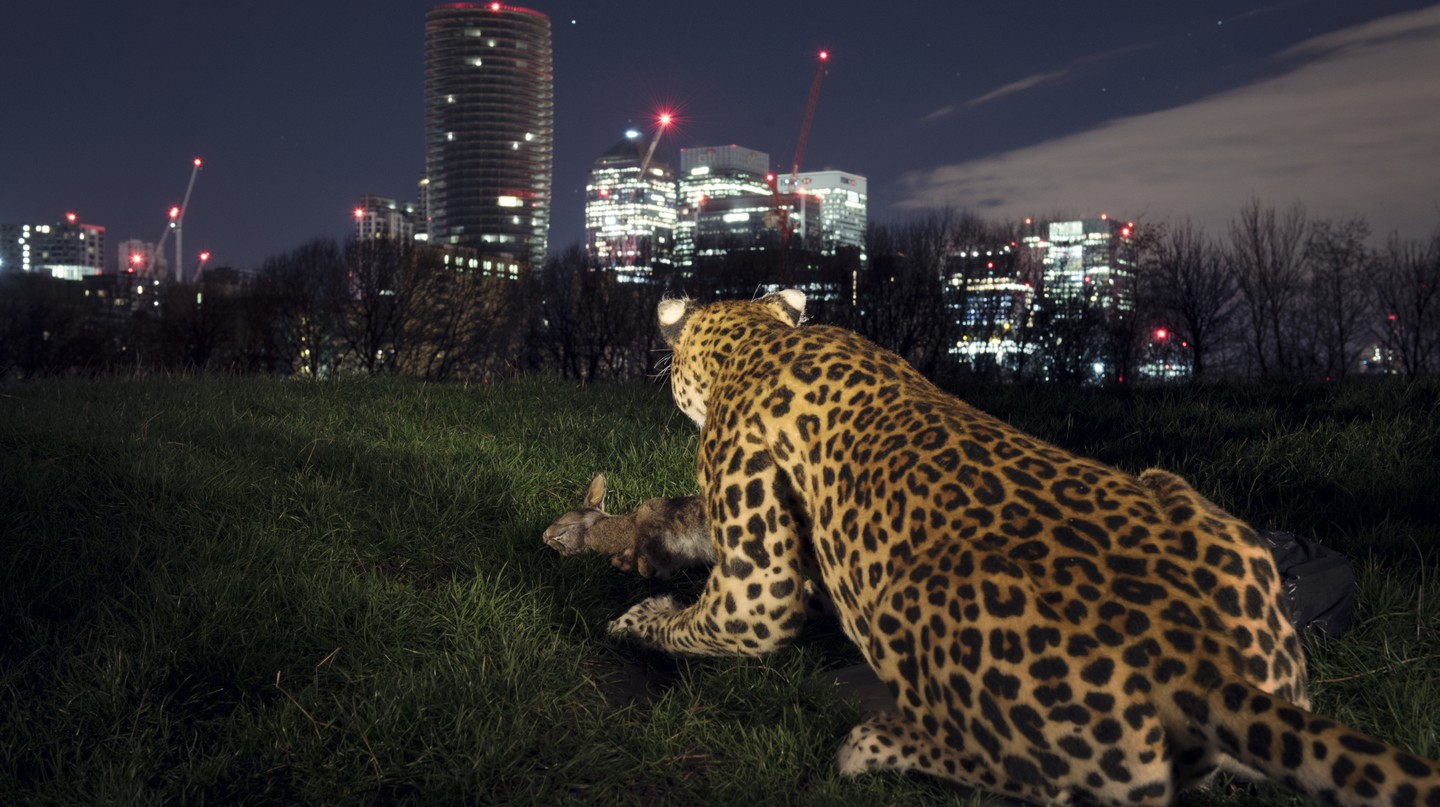 Nat Geo WILD unleashed the first ever realistic animatronic leopard. Images by Wildlife Photographer of the Year winner Sam Hobson and assistant Josh Perrett.