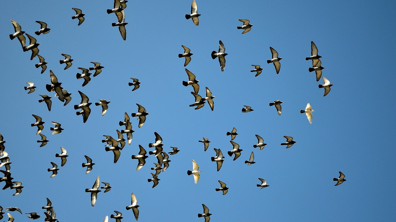 Pigeons @ Pixabay
