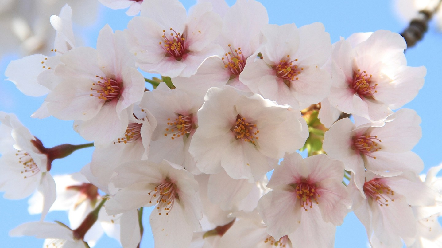 Cherry blossoms | © Ching / Flickr
