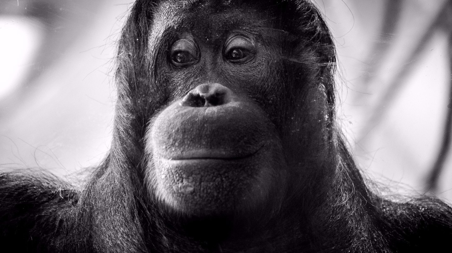 An Orangutan |© Roman Pfeiffer / Flickr
