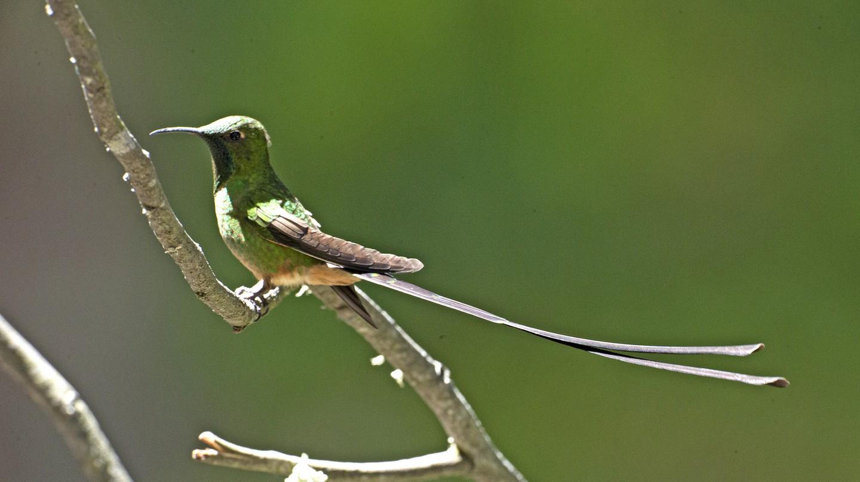 Black-tailed trainbearer | © Kip Lee/Flickr