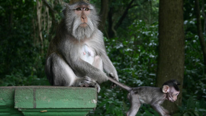 Monkeys of the Monkey Forest Ubud, Bali