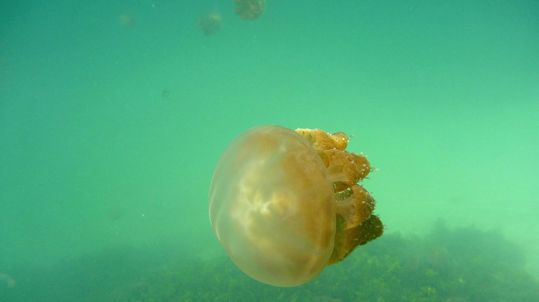 Stingless jellyfish in Kakaban Lake | © TomaB / Flickr