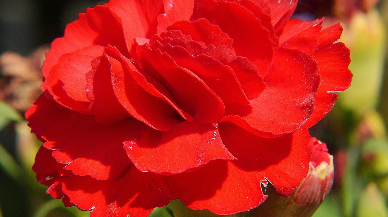 Carnation © Pixabay