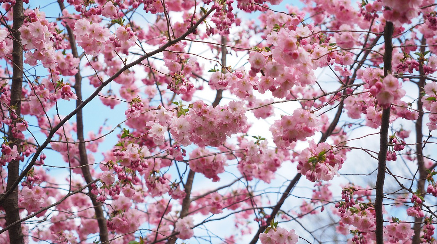 Berlin has an abundance of pink and white cherry blossom trees each year | © Hans/Pixabay