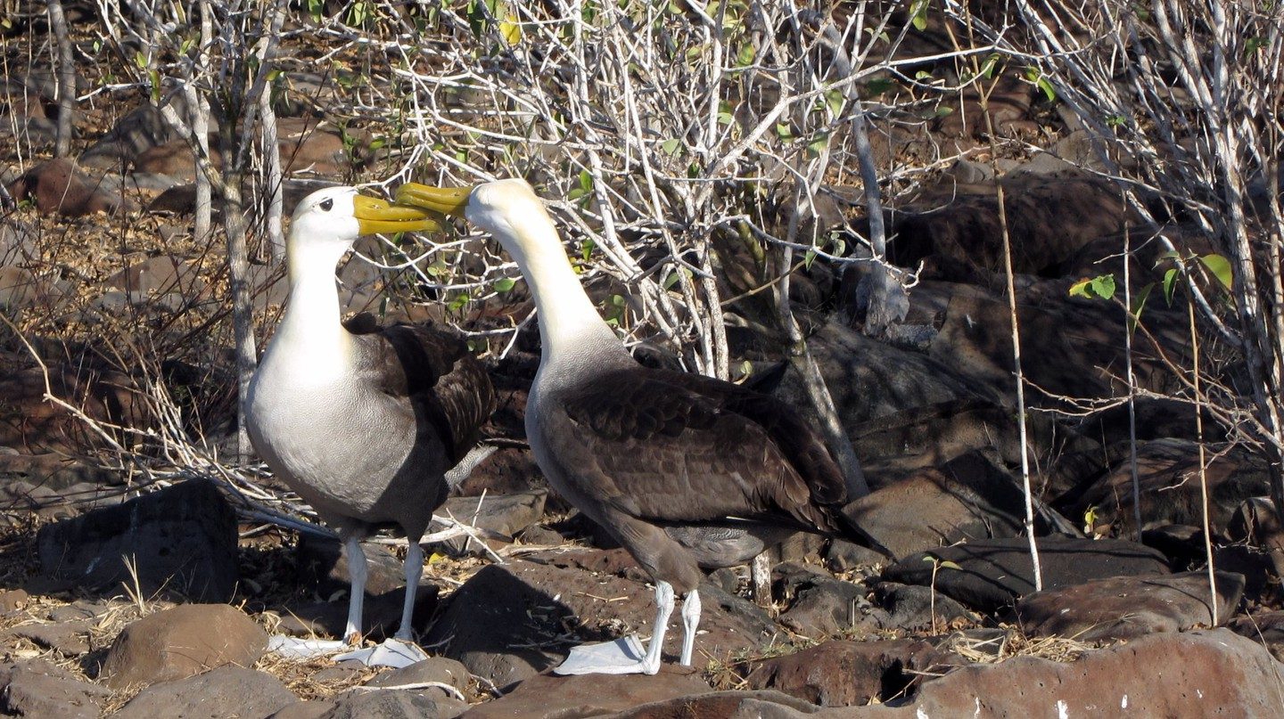 Galapagos Waved Albatross|© Claumoho/Flickr.com