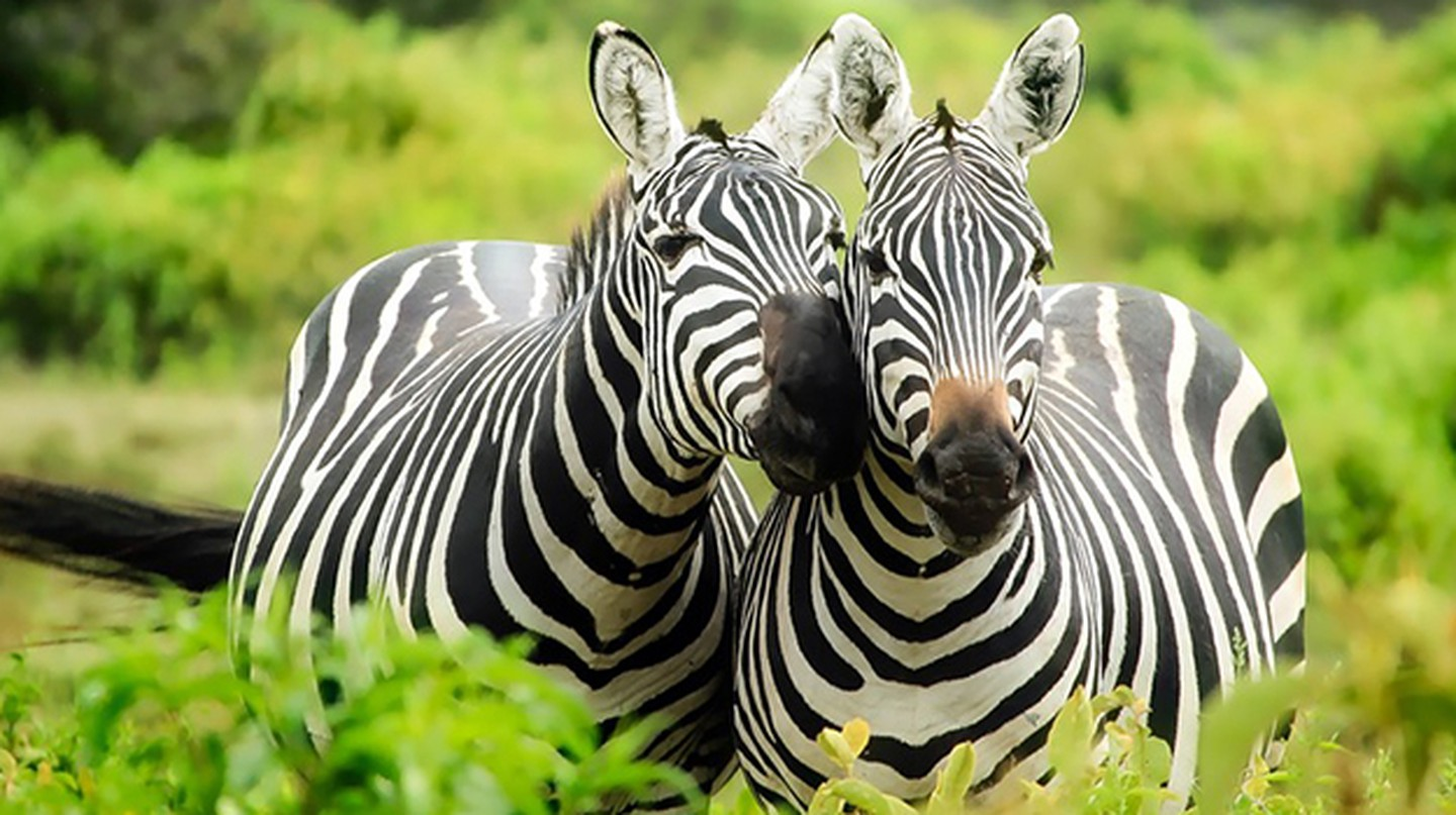 Happy Zebras| © by Pixabay / Pexels