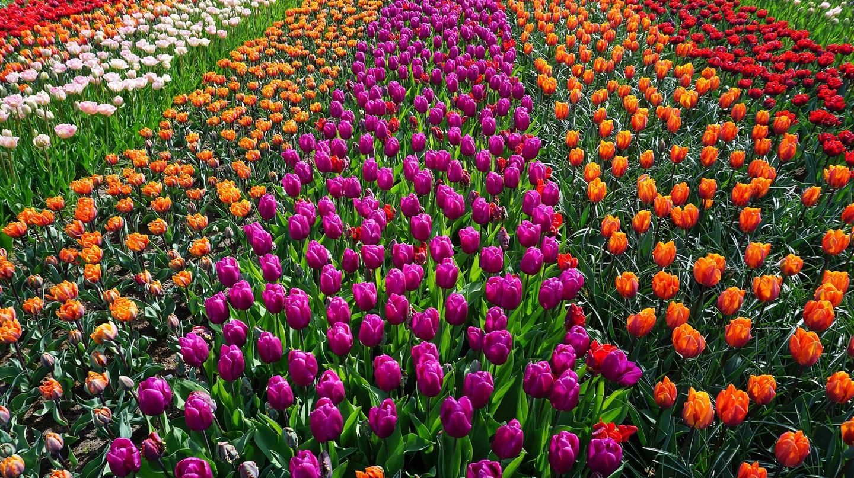 Dutch tulip fields   © pixabay