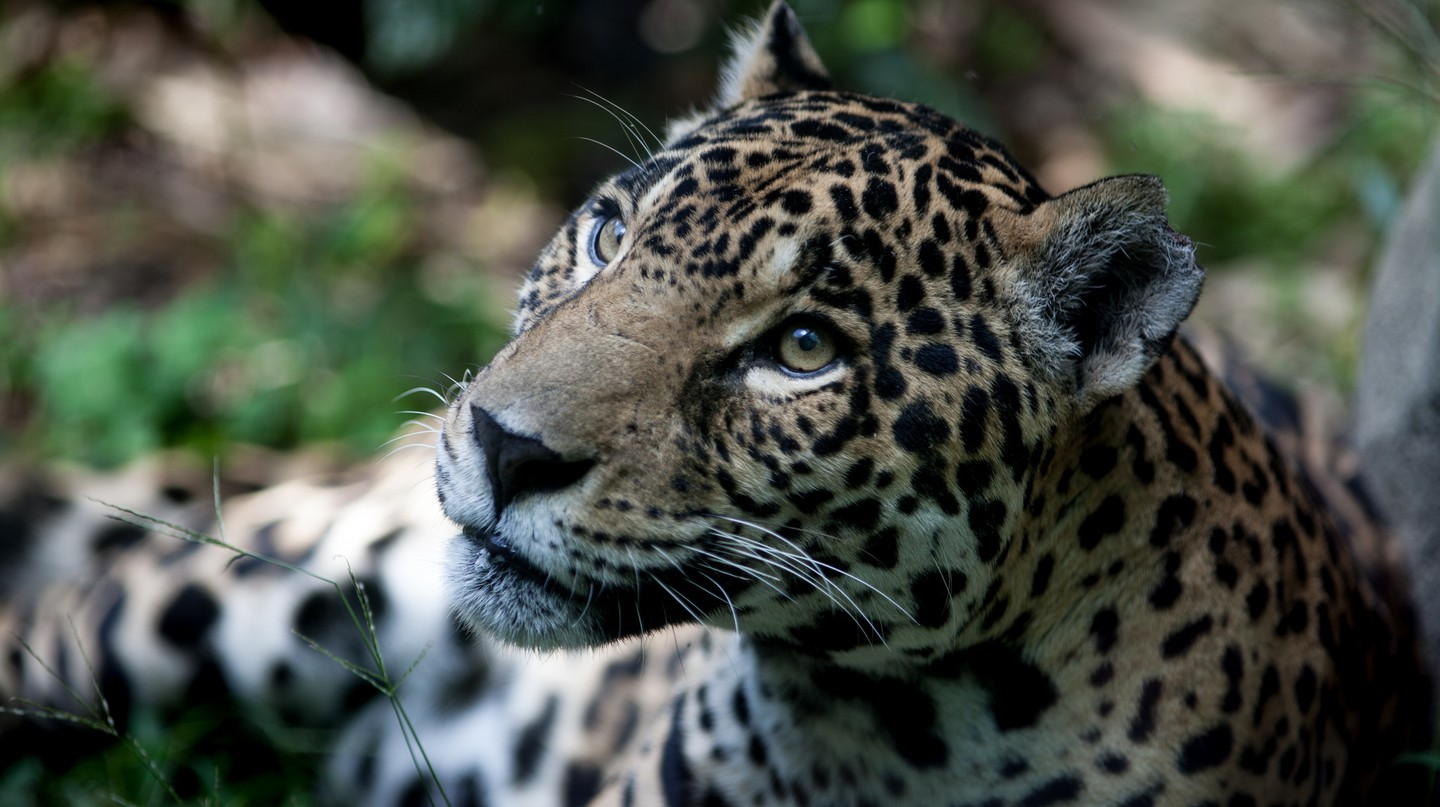 Jaguar | © Eduardo Merille / Flickr