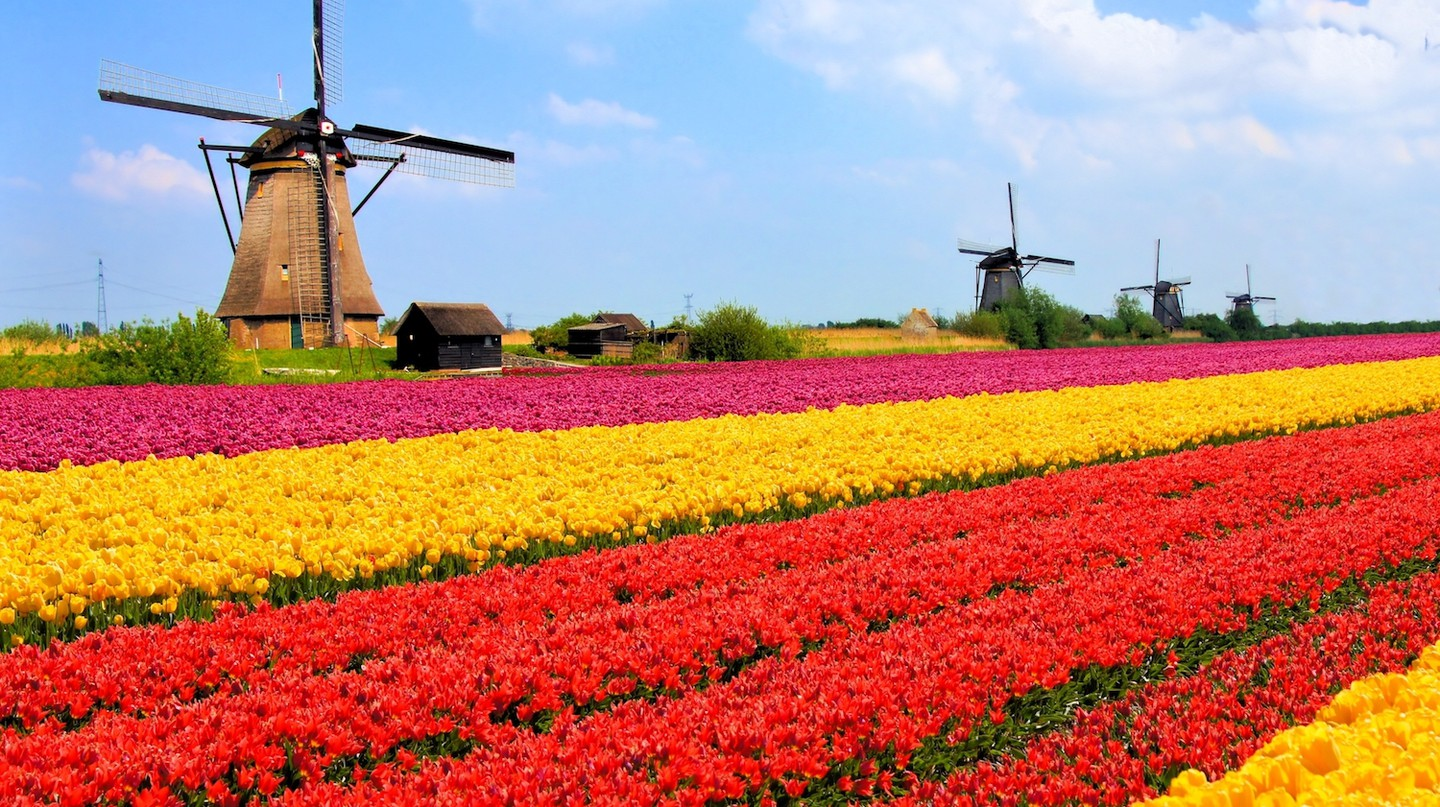 Vibrant tulips fields with windmills in the background, Netherlands | © JeniFoto/Shutterstock