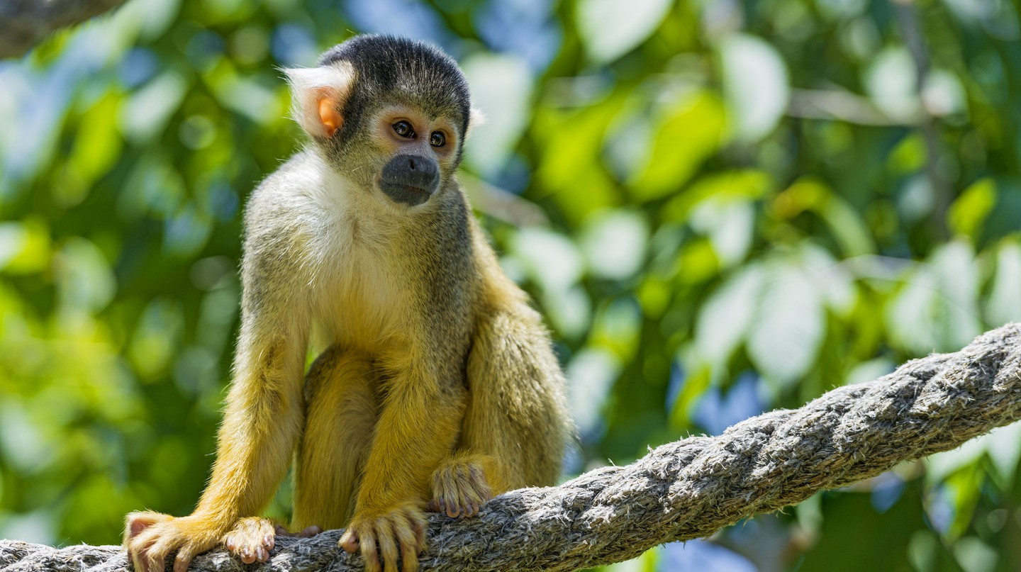 Squirrel Monkey│© Tambako The Jaguar/Flickr