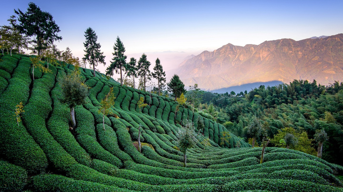 Tea Fields | © 白士 李 / Flickr
