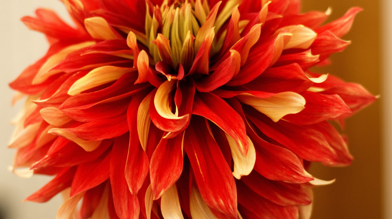 Dahlia | © Dick Thompson/Flickr