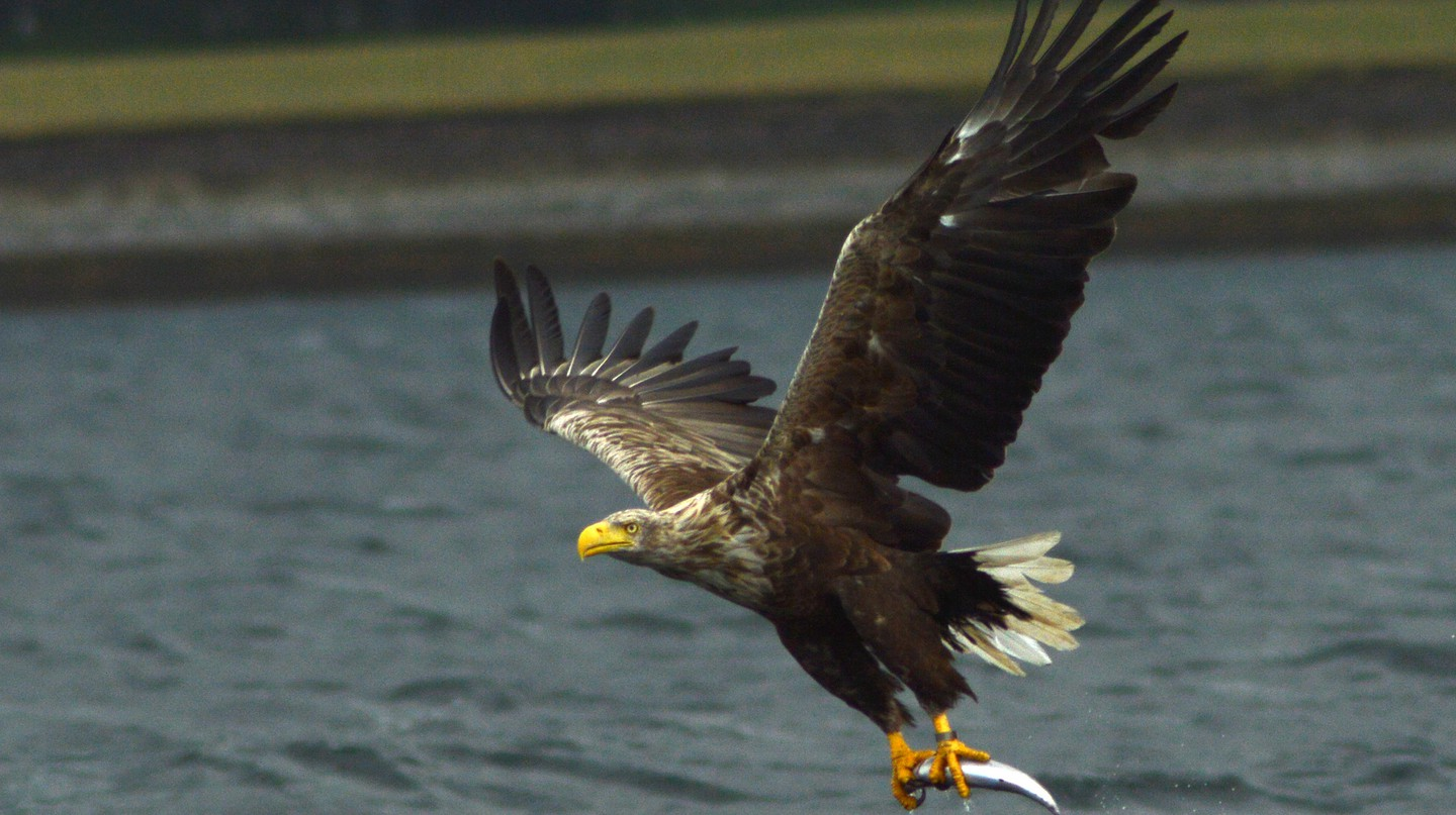 White-tailed sea eagle off Mull | © Jacob Spinks/Flickr