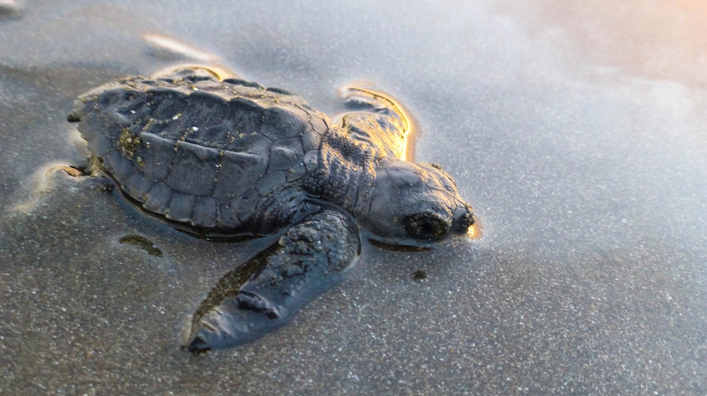 Baby turtle on the beach I © Frode Ramone/Flickr