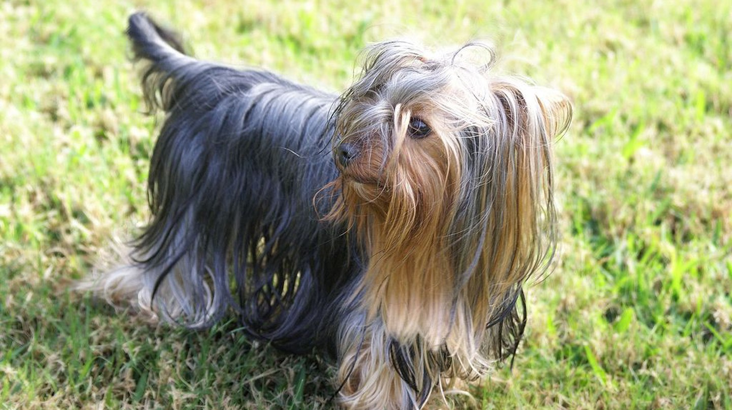 Yorkshire Terrier | © Wikimedia Commons