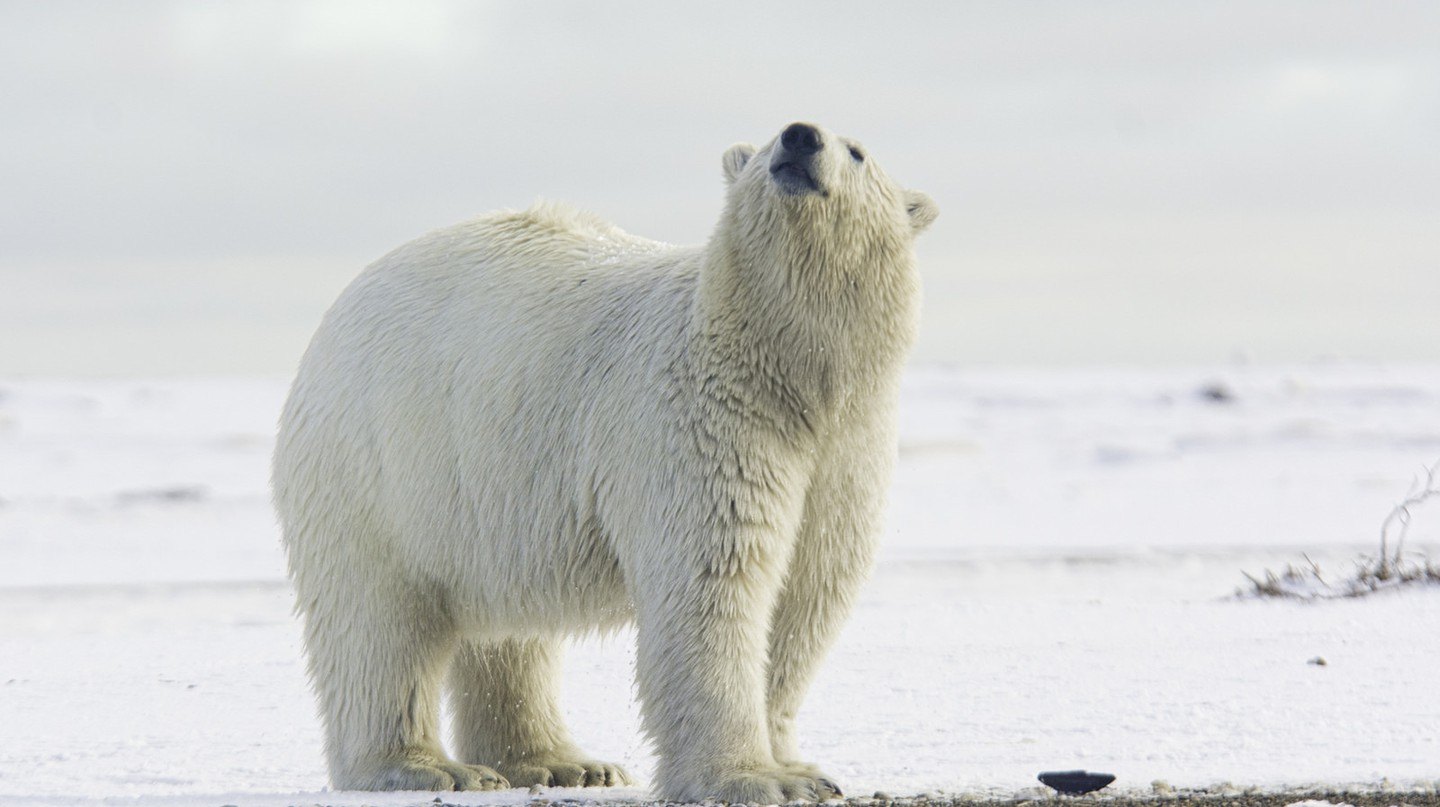 Polar bear I © Anita Ritenour/Flickr