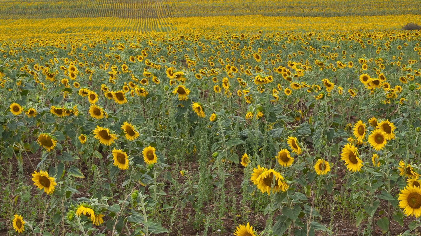 Sunflower fields I © Cermelo Pecino/Flickr