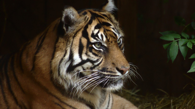 Tiger | ©Damian Moore/ Flickr