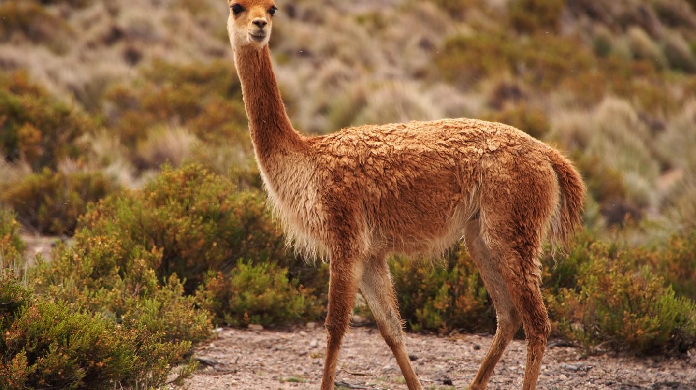 Vicuña © qiv/Flickr