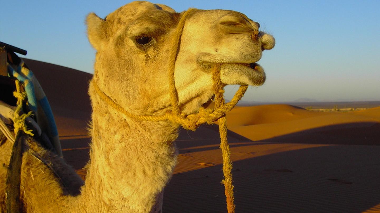 Camel in Morocco | © Carlos ZGZ / Flickr