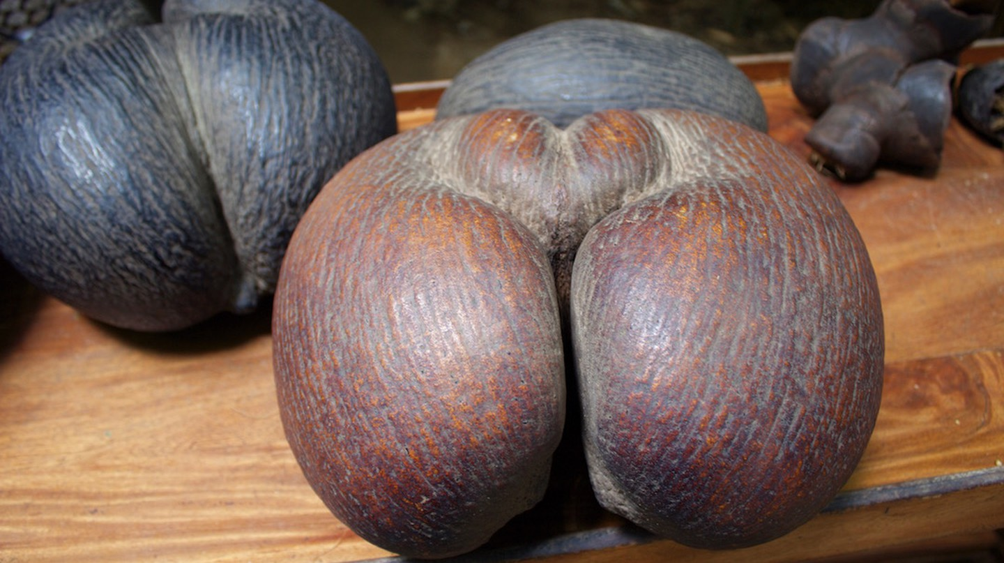 The worlds largest (and cheekiest) nut the Coco de Mer   ©Chantelle Howell